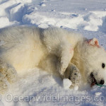 polar-bear-cub out of anesthesia